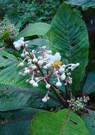 Image of <i>Saurauia arnoldii</i> Sleum.