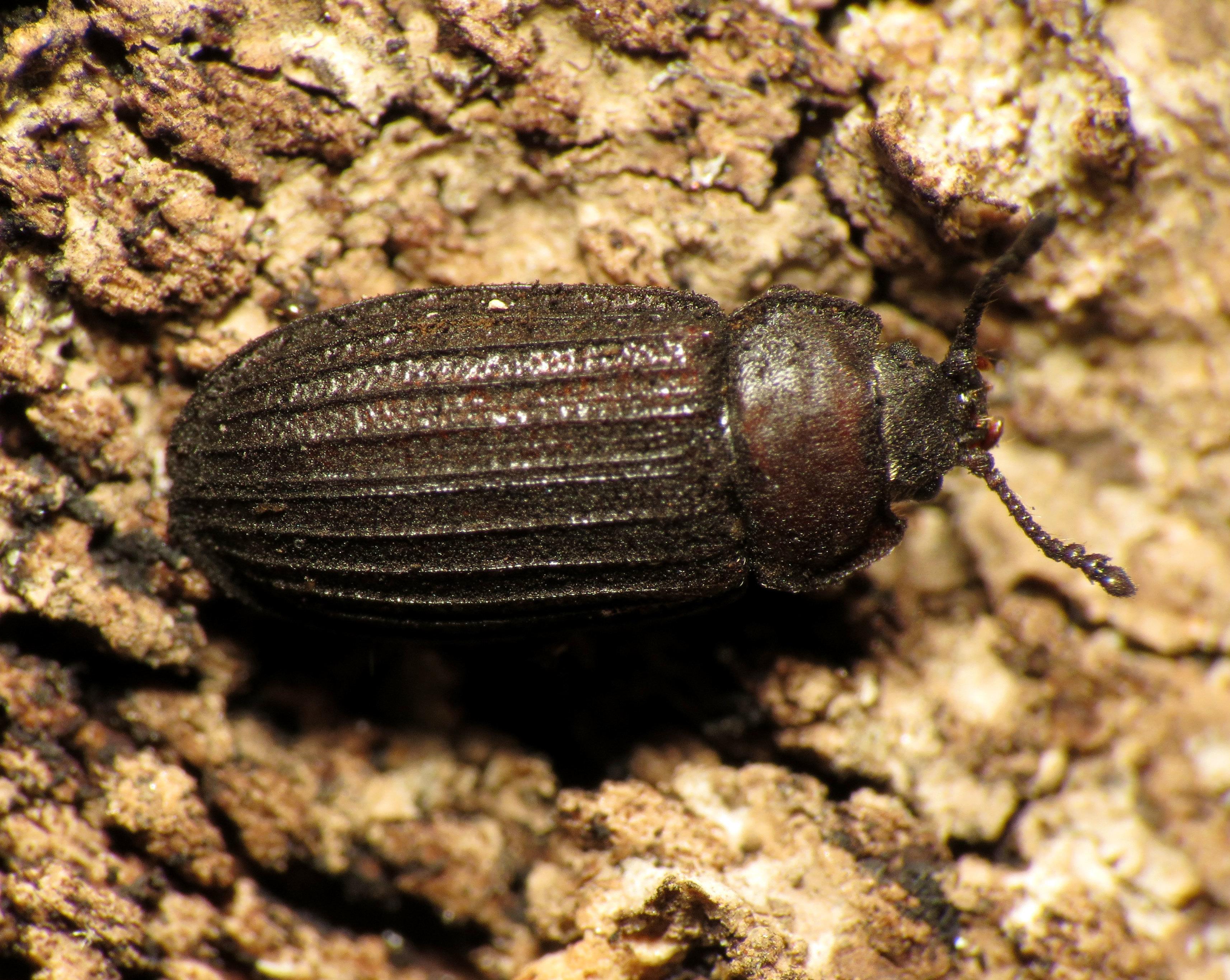 Image of <i>Grynocharis quadrilineata</i> (Melsheimer 1844)