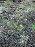 Image of alpine false springparsley