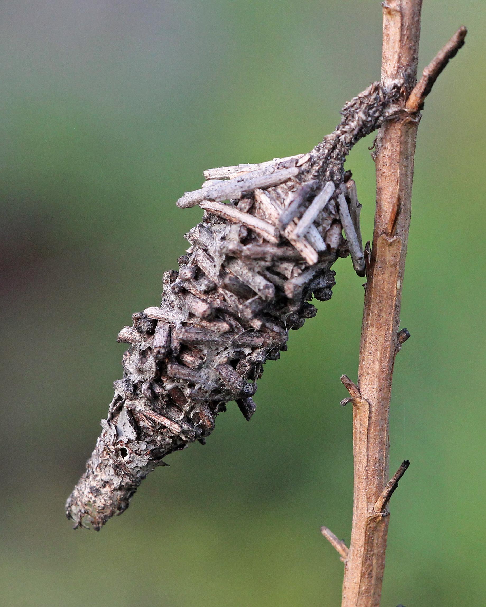 Image of <i>Oiketicus abbotii</i> Grote
