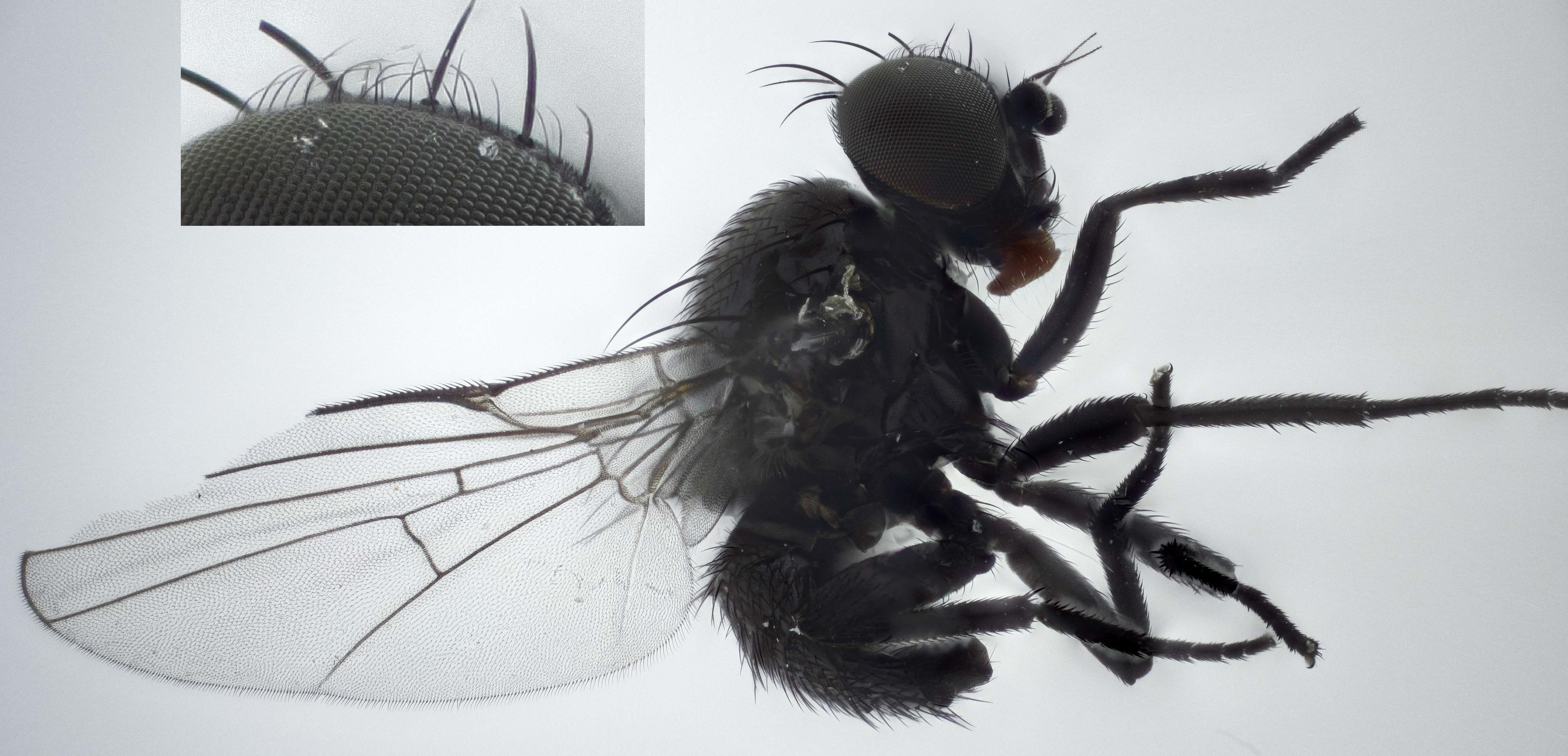 Image of <i>Ophiomyia cunctata</i> Hendel 1920
