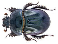 Image of <i>Ceratotrupes bolivari</i> Halffter & Martinez 1962
