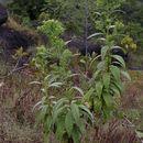 Image of <i>Trixis ophiorhiza</i> Gardn.