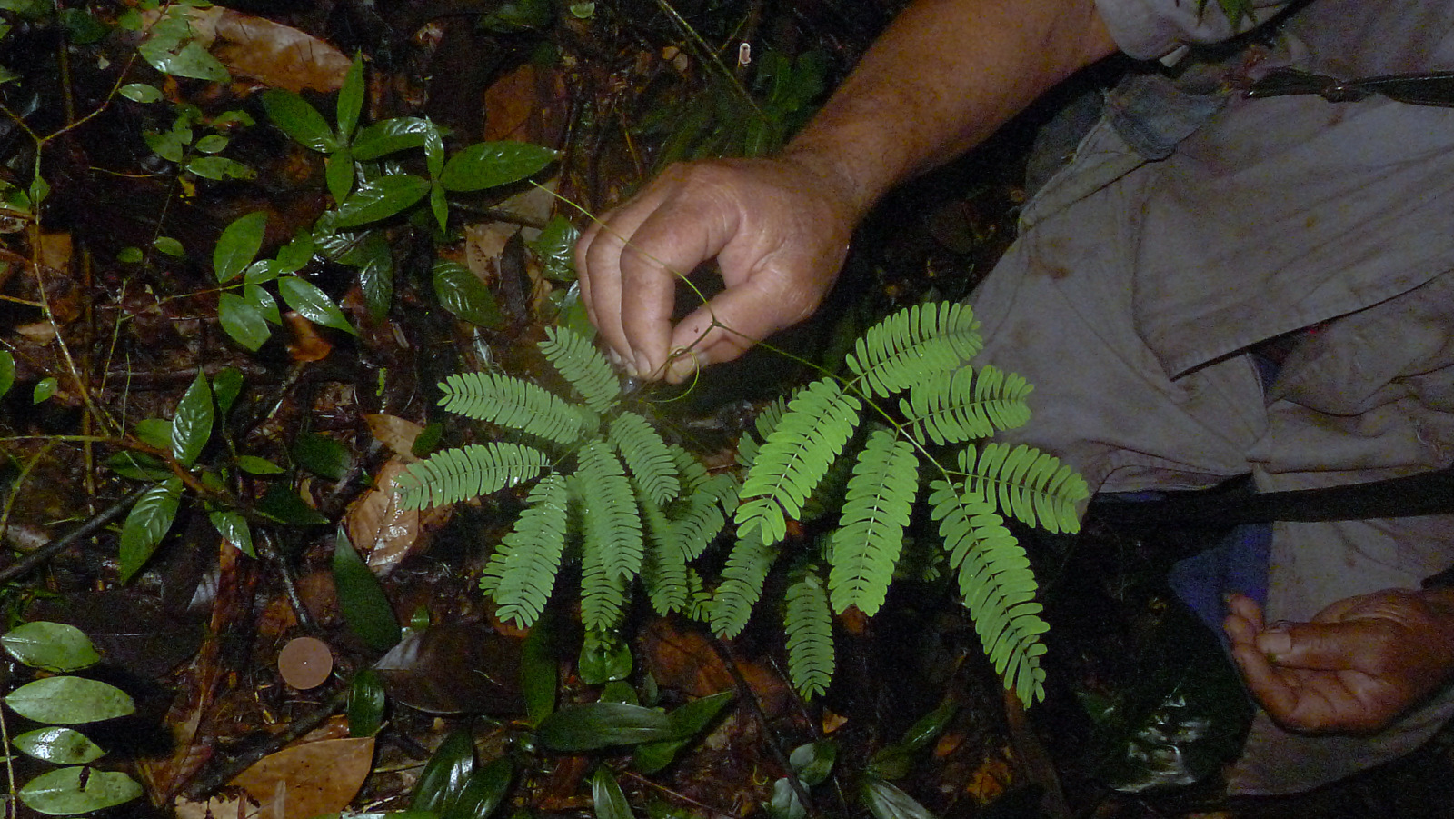 Image of <i>Senegalia pteridifolia</i> (Benth.) Seigler & Ebinger