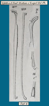 Image of <i>Amphisolenia bidentata</i>