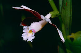 Image of <i>Phaius callosus</i> (Blume) Lindl.