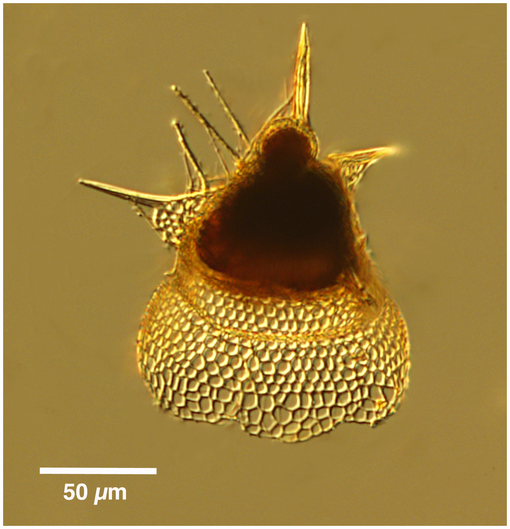 Image of <i>Lipmanella dictyoceras</i> (Haeckel) Kling 1973
