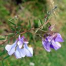 Imagem de <i>Vicia andicola</i> Kunth