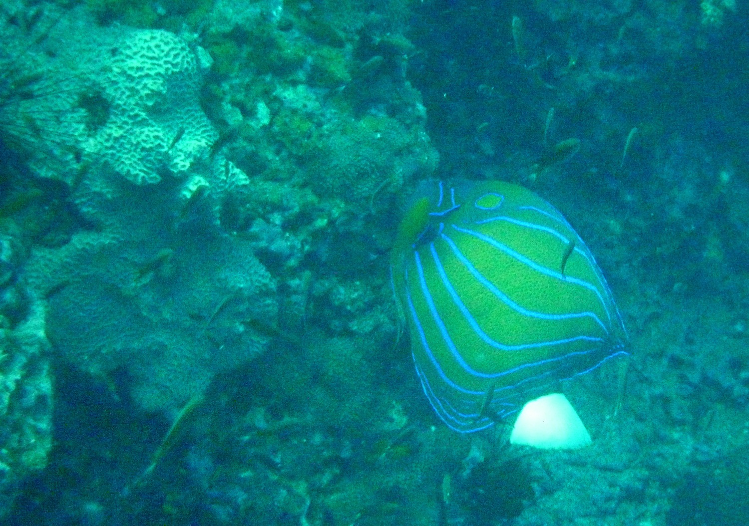 Image of Blue Ring Angelfish