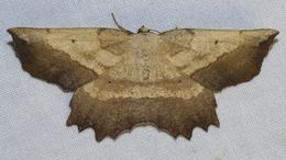Image of Saw-wing