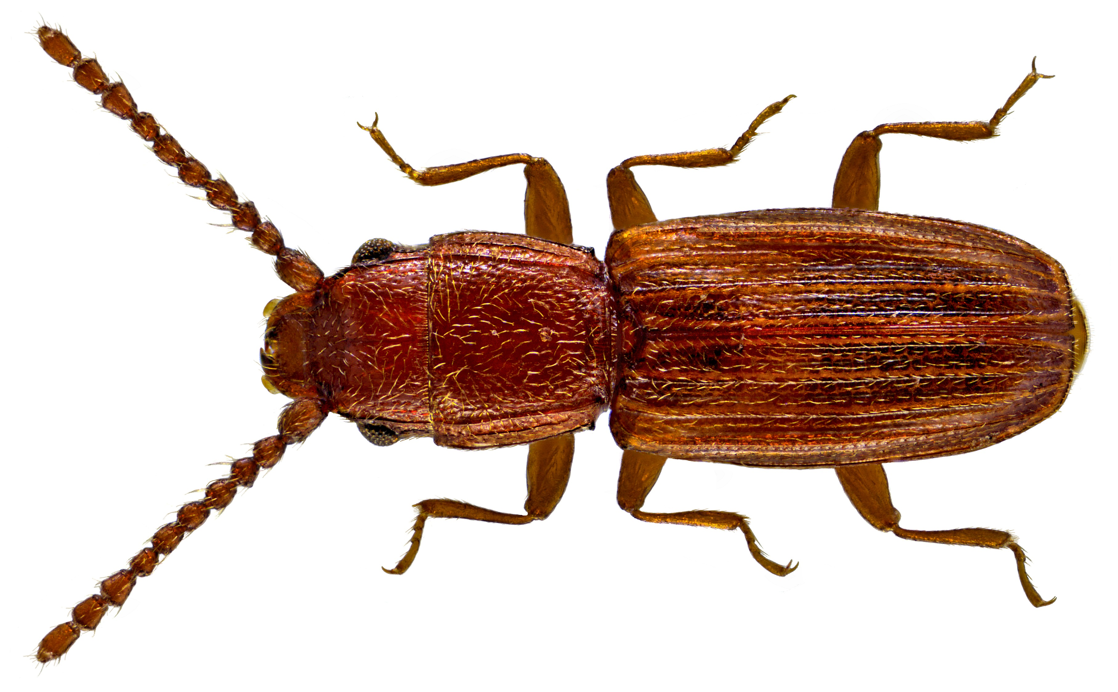 Image of <i>Cryptolestes duplicatus</i> (Waltl 1834) Waltl 1834