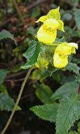 Image of <i>Calceolaria lamiifolia</i> Kunth
