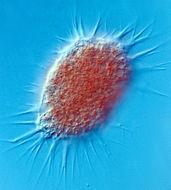 Image of <i>Lateromyxa gallica</i>