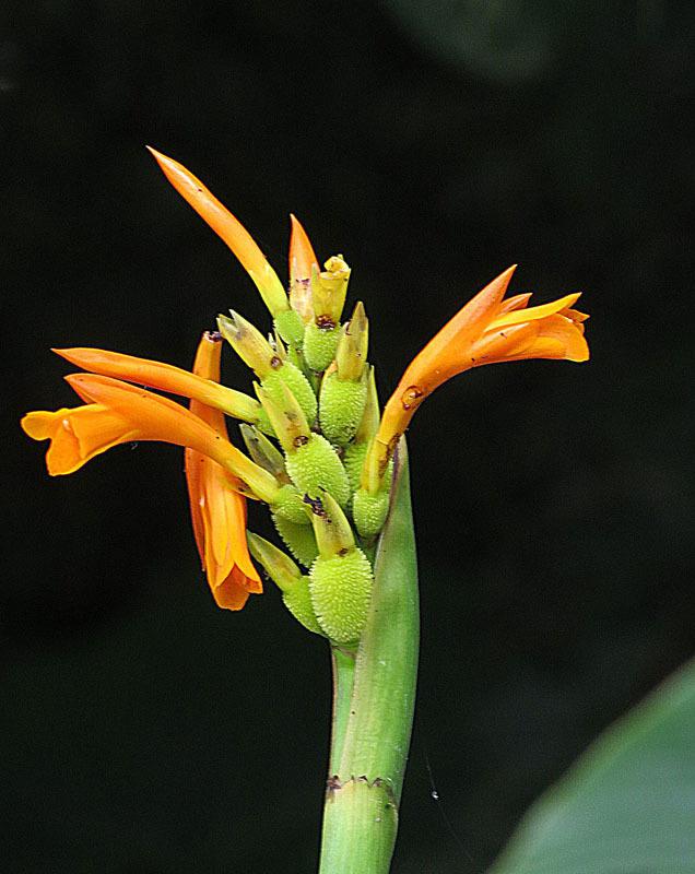 Image of Caribbean canna