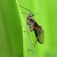 Image of Giant Bark Aphid