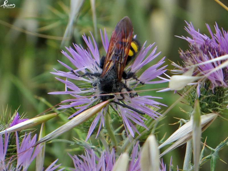 Image of <i>Megascolia maculata flavifrons</i>