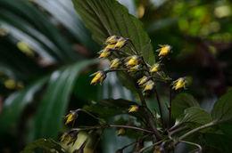 Image of <i>Lysimachia wilsonii</i> Hemsl.