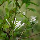 Image of <i>Prismatomeris fragrans</i> Geddes