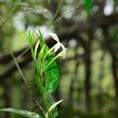 Image of <i>Jasminum laurifolium</i> Roxb. ex Hornem.