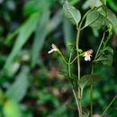 Image of <i>Vandellia longituba</i>