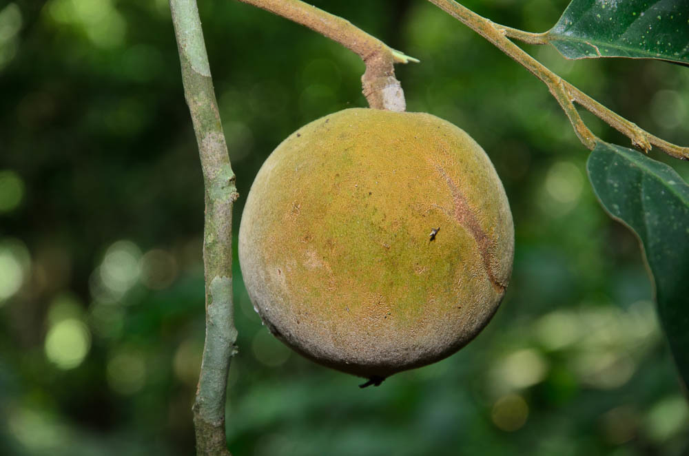 Image of <i>Hydnocarpus macrocarpa</i>