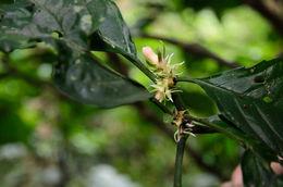 Image of <i>Silvianthus bracteatus</i> Hook. fil.