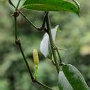 Image of <i>Gnetum cuspidatum</i> Blume