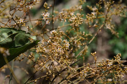 Image of <i>Connarus paniculatus</i> Roxb.