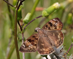 Image of Horace's Duskywing