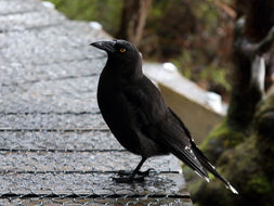 Image of Black Currawong