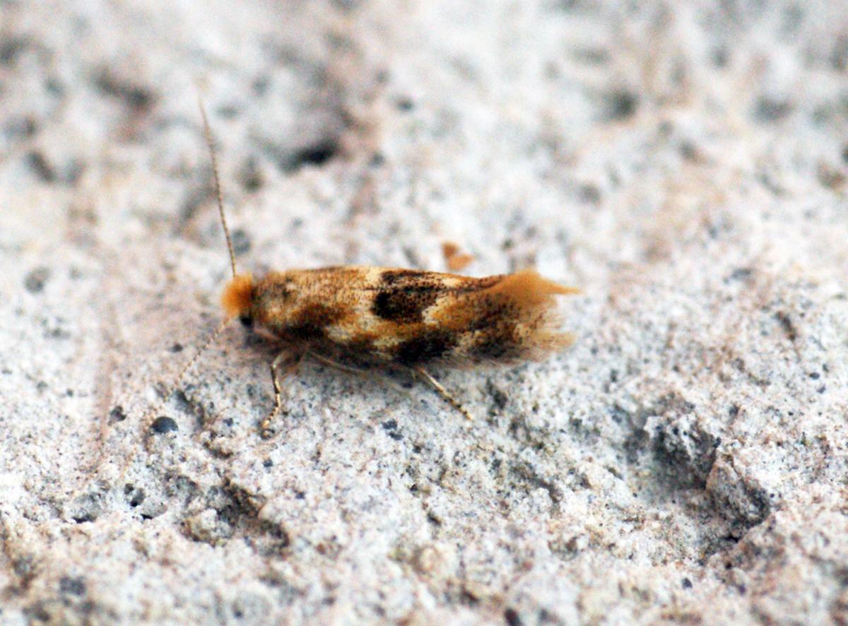 Image of oak bent-wing