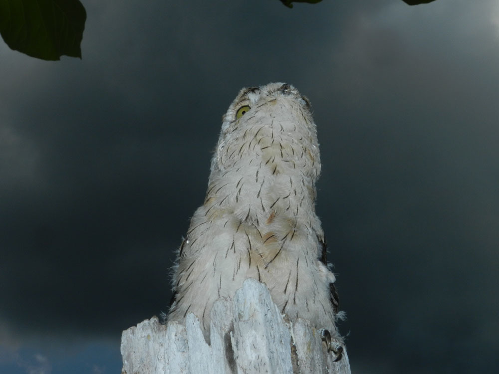 Image of Common Potoo