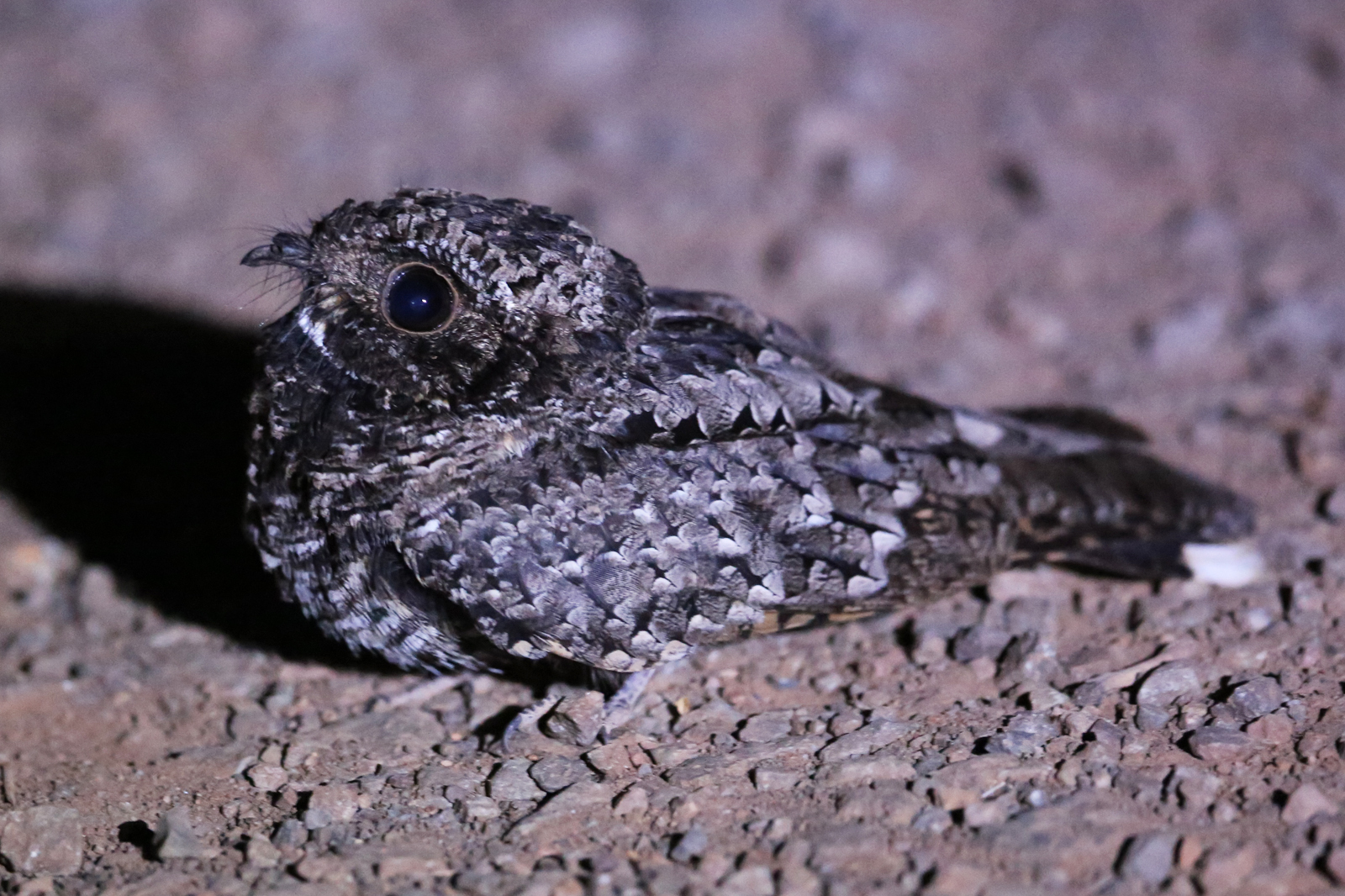 Image of Common poorwill