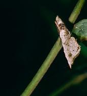 Image of <i>Ceratomantis saussurii</i> Wood-Mason 1876