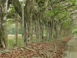Image of <i>Ficus crocata</i> (Miq.) Mart. ex Miq.