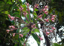 Image of <i>Bomarea edulis</i> (Tussac) Herb.