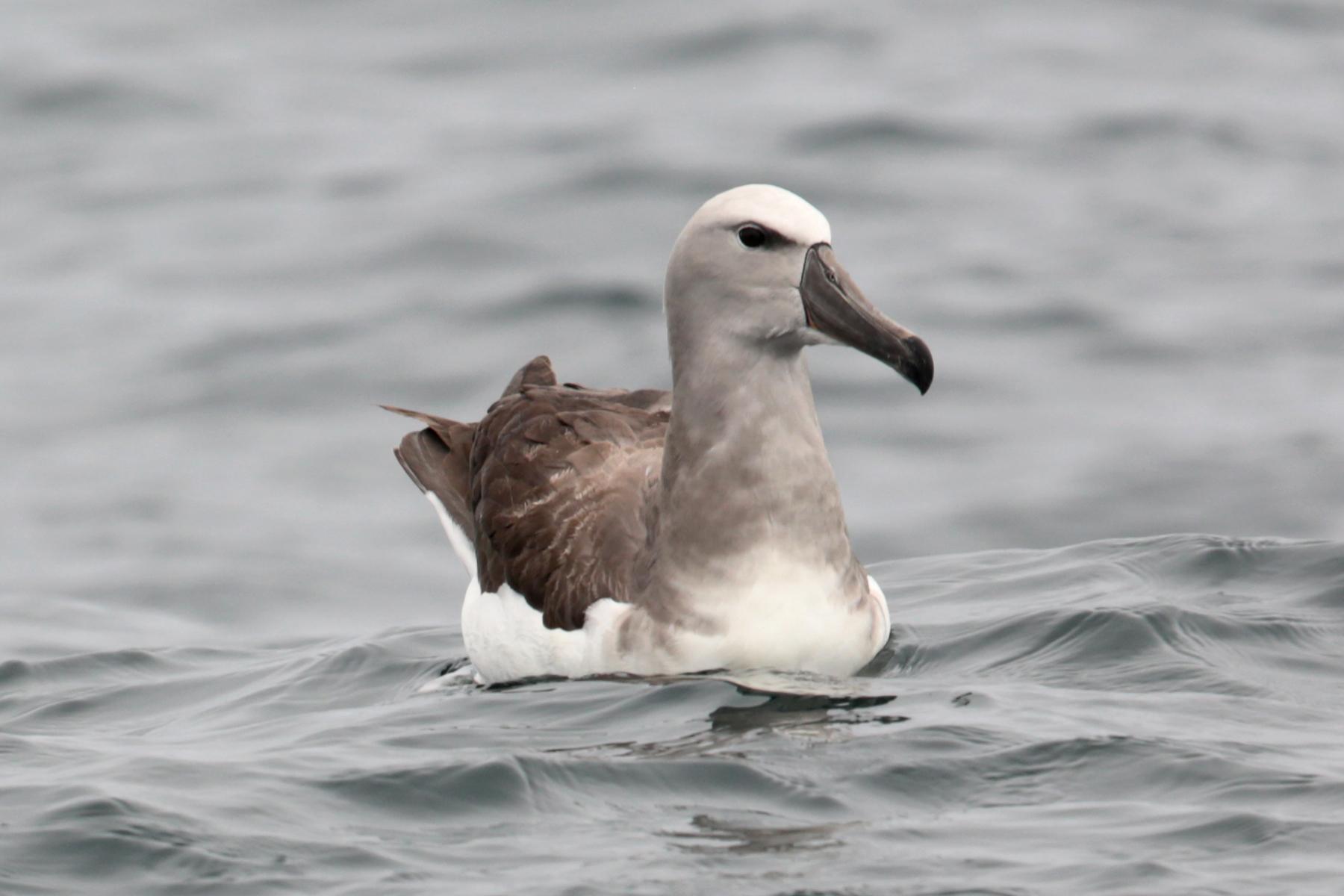 Image of Salvin's Albatross