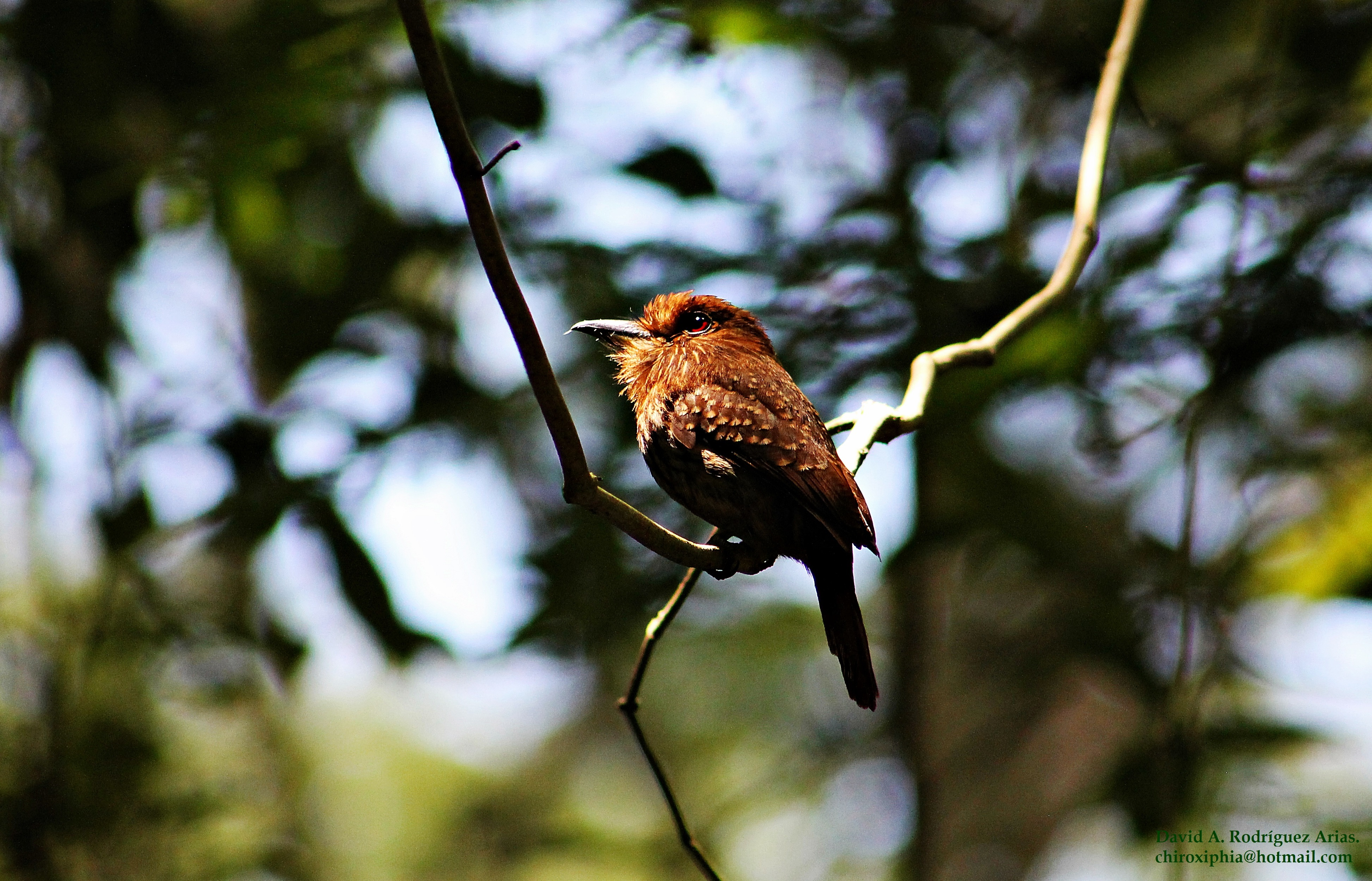 Image of White-whiskered Puffbird