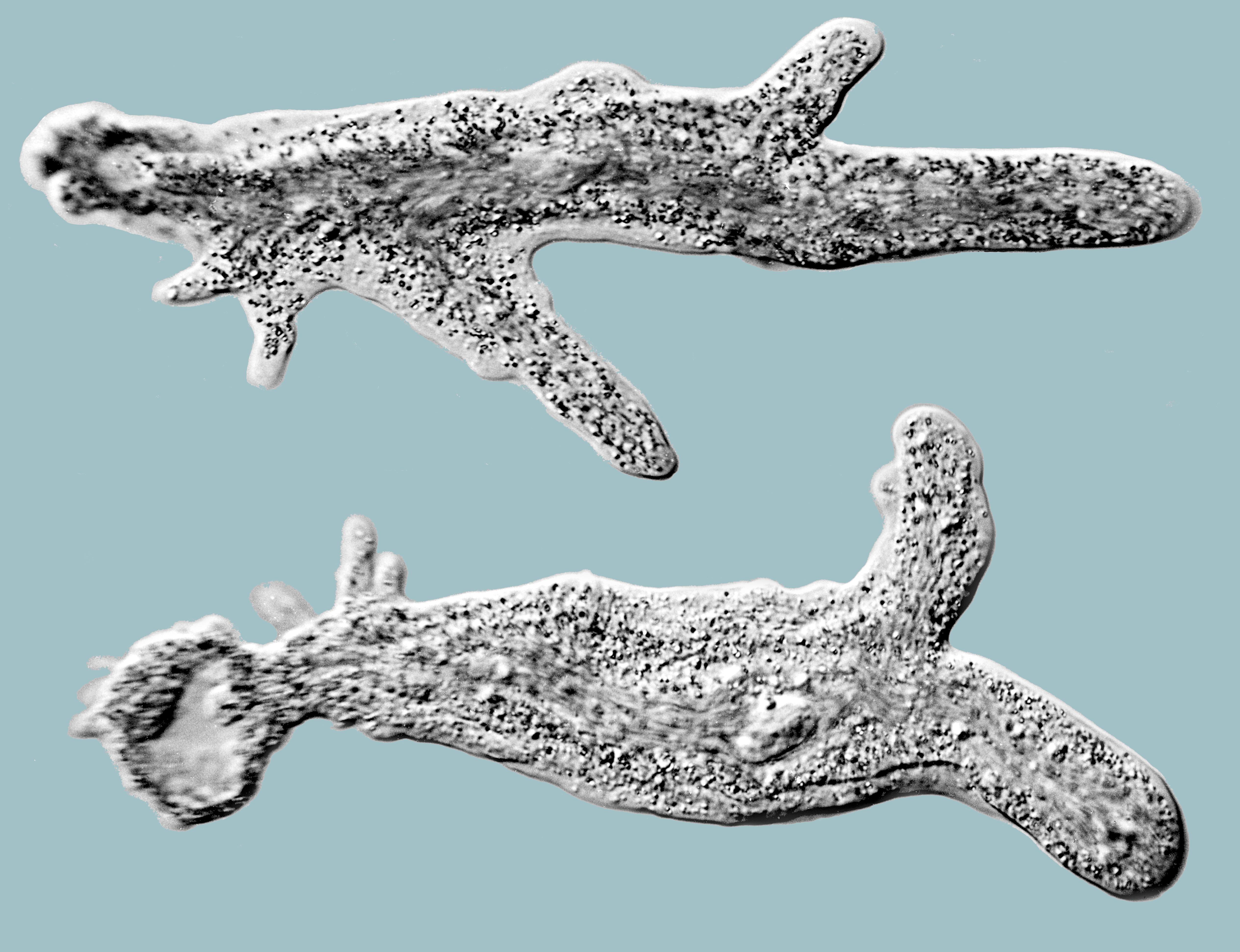 Image of <i>Amoeba proteus</i>