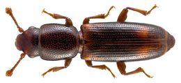 Image of <i><i>Rhizophagus</i></i> (Rhizophagus) <i>bipustulatus</i> Fabricius 1792