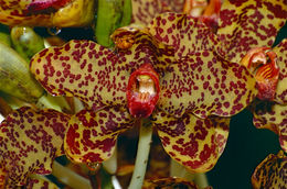 Image of Giant orchid