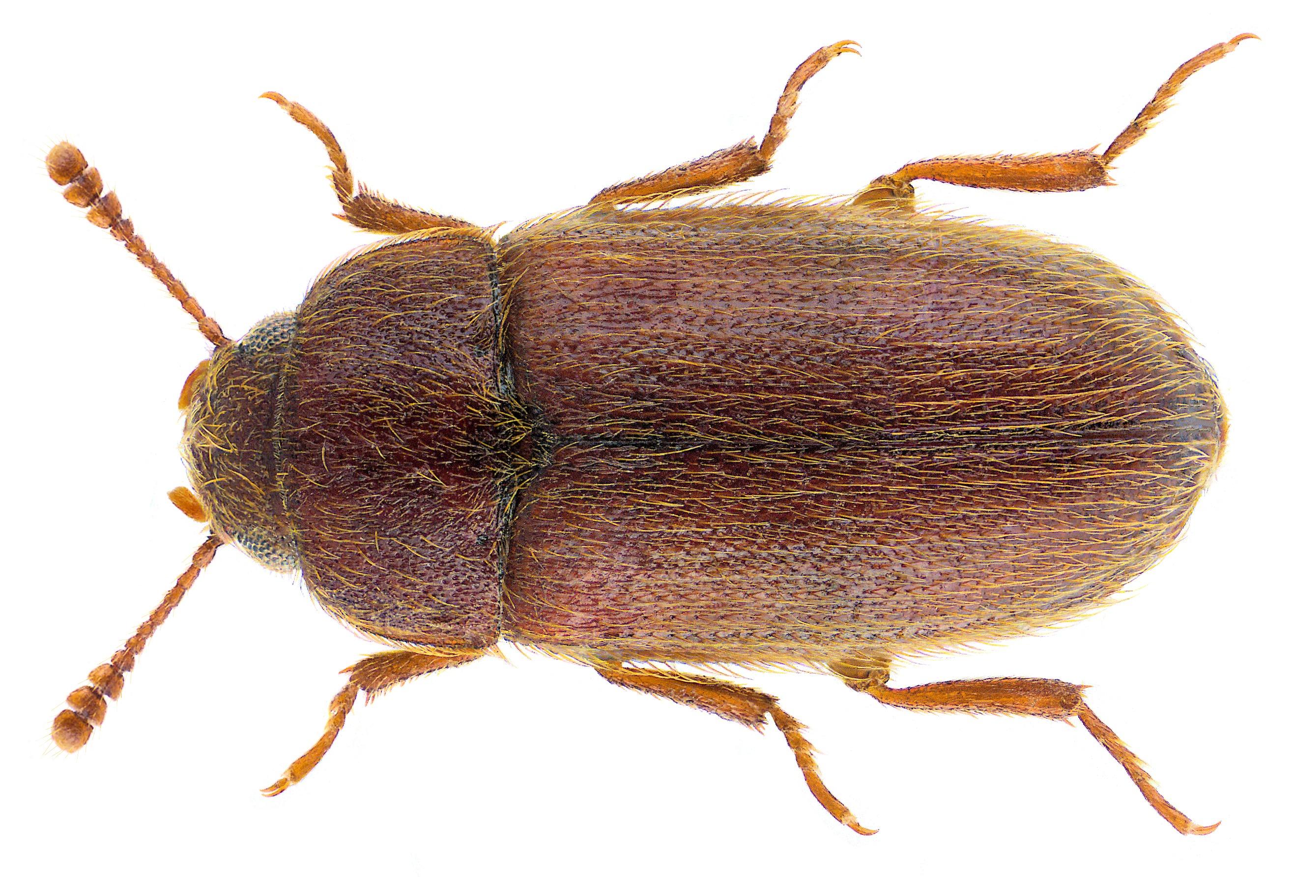 Image of Hairy Fungus Beetle