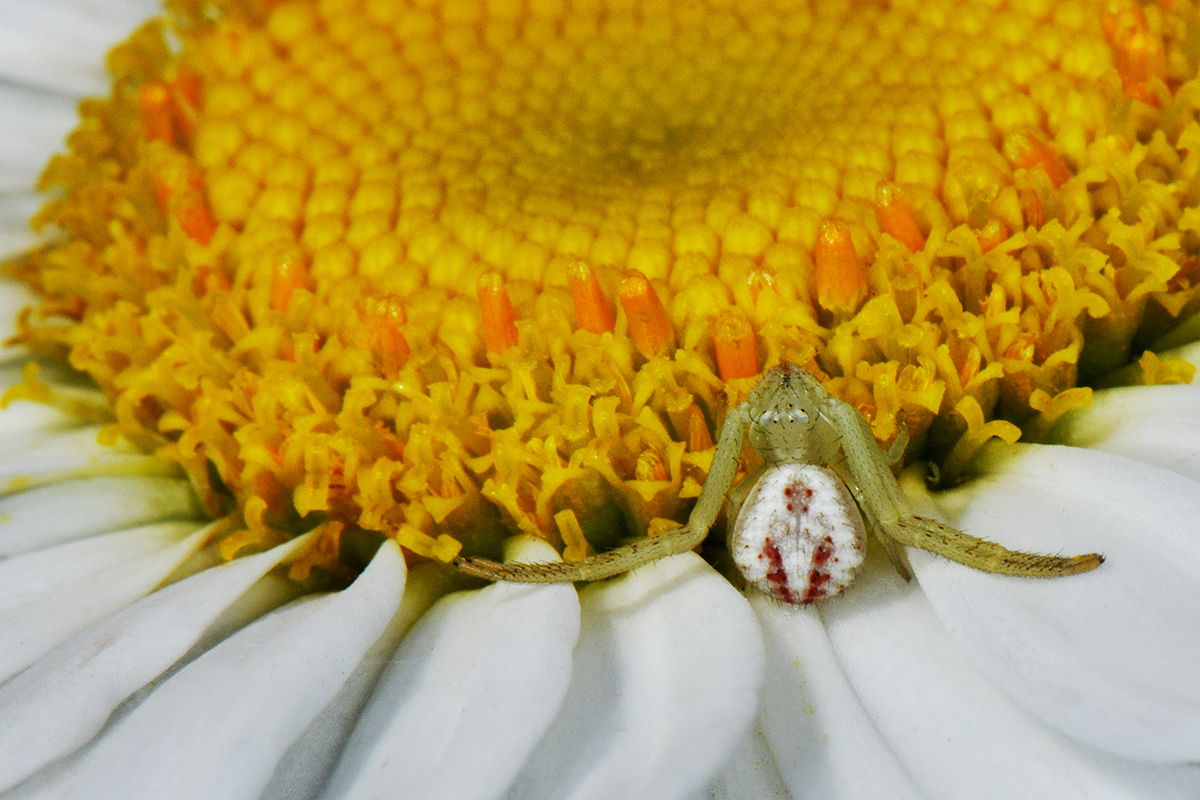 Image of Northern Crab Spider