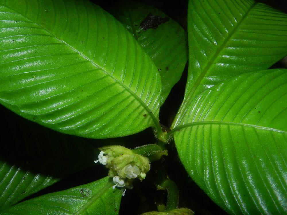 Image of <i>Psychotria polyphlebia</i>