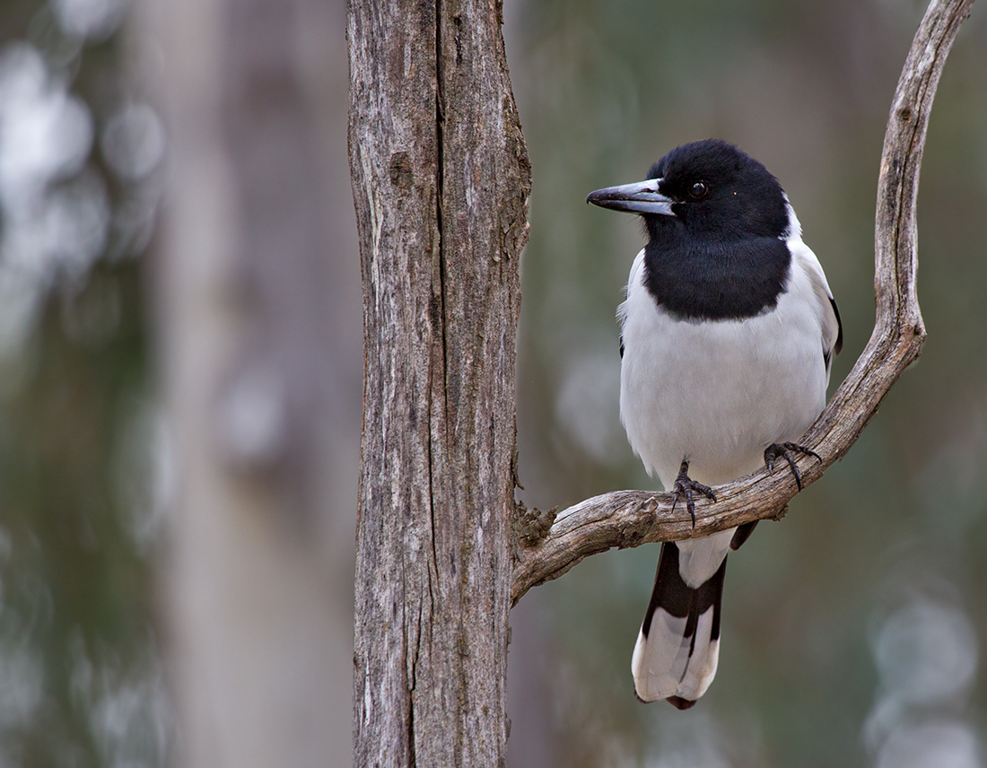 Image of Pied Butcherbird