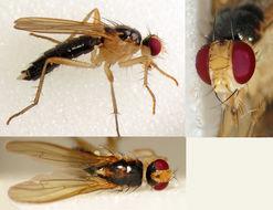 Image of <i>Cordilura albipes</i> (Fallen 1819)
