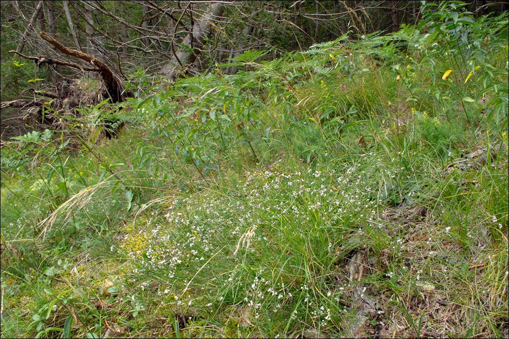 Image of <i>Asperula cynanchica</i> L.