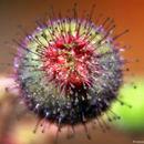 Image of <i>Clidemia octona</i> (Bonpl.) L. O. Williams