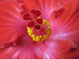 Image of China rose