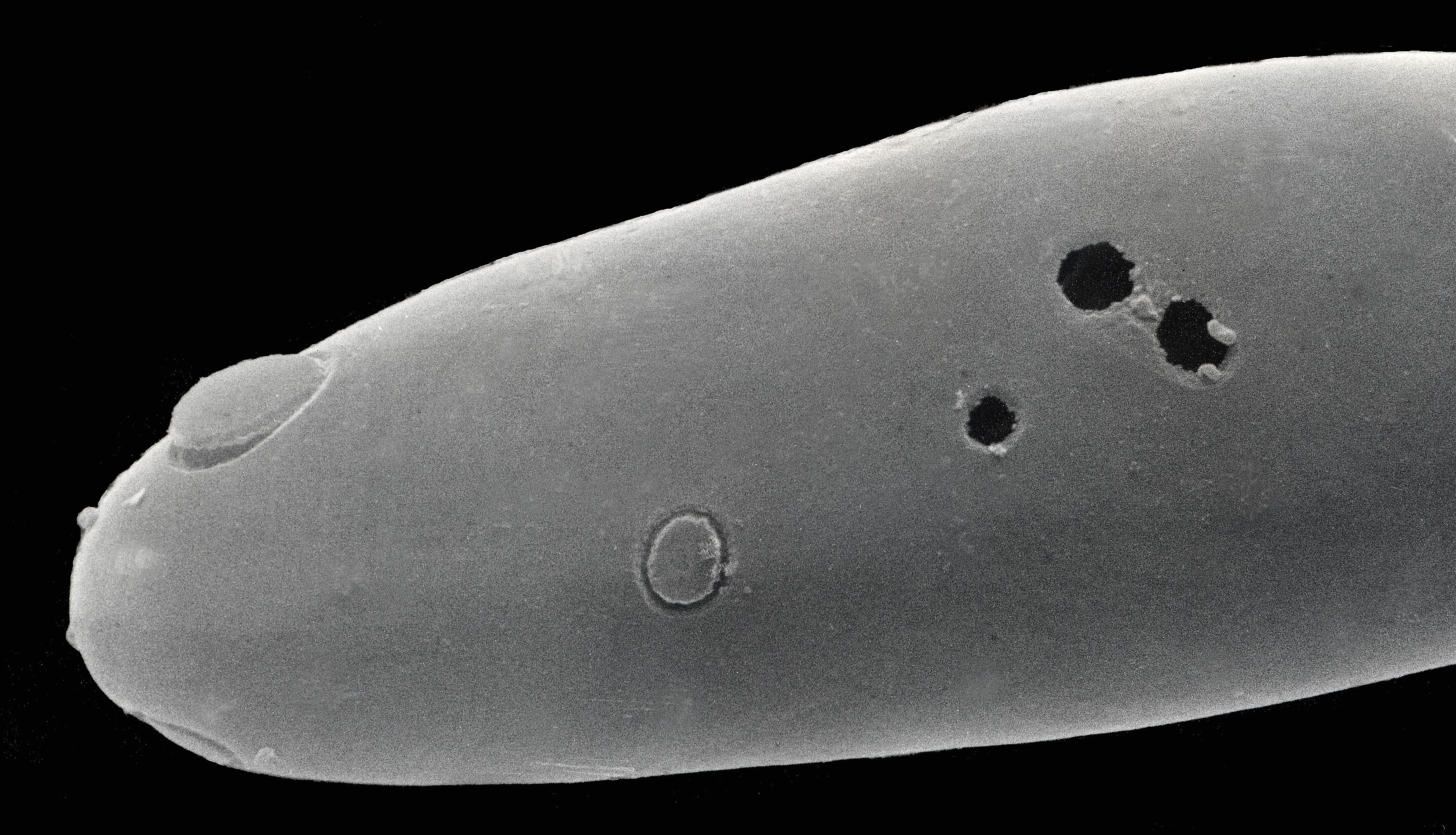 Image of <i>Platyreta germanica</i>